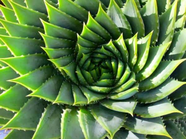 Golden Spiral In Plants
